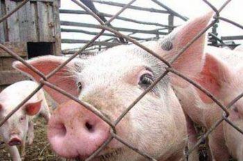 ВСУ «Чериковская ветеринарная станция» напоминает: границы АЧС не останавливают