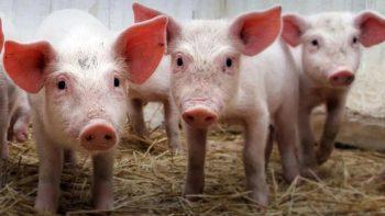 О том, как обезопасить свиноводство от АЧС, рассказывает главный ветеринарный врач района Сергей Куцарский