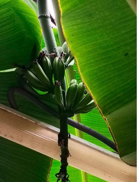 В Горецком ботаническом саду впервые созревают бананы