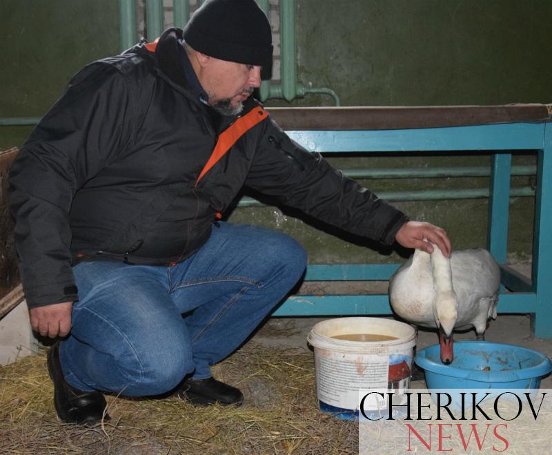 Сотрудники Чериковского РОЧС спасли замерзающего лебедя